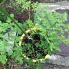 マルンガイの栽培をしていて気がついた植物を育てる大事なコツ