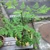 夏を迎えて急成長!今週のマルンガイ(モリンガ)栽培レポート