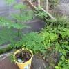 通販で買った苗を植えてから2ヶ月。我が家のマルンガイが大きく育ちました!