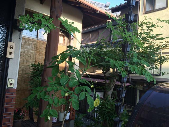 マルンガイの葉が茂ってきたのですが…これは切るしかないかな?