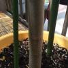 今年の暑さでマルンガイがグングン伸びて2メートル半になりました