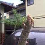 【祝!】今年もマルンガイ(モリンガ)の新芽が出てきたよ